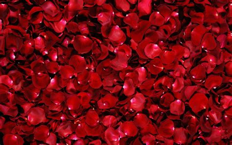 wallpapers red rose wallpapers red roses backgrounds wallpaper cave
