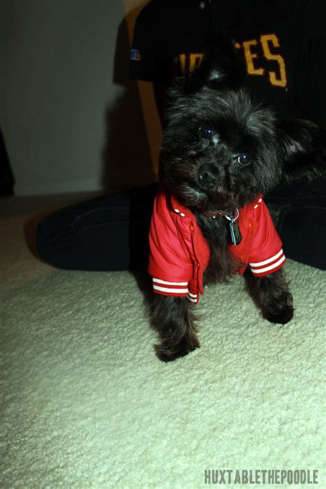 how to take care of a yorkie poo yorkie poo dogs hairstylegalleries