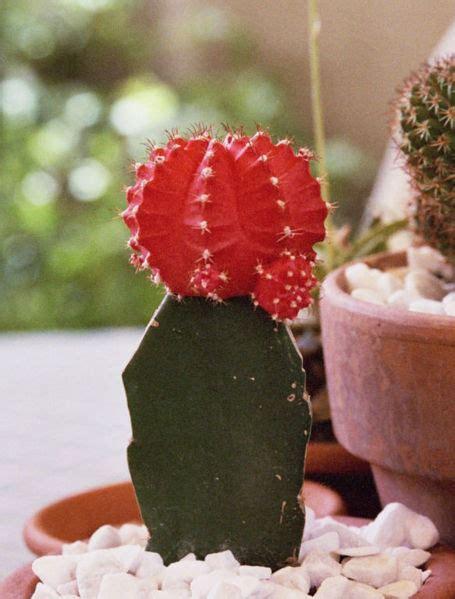 Kakteen Vermehren by Der Kaktus De Kakteen Shop Vermehrung