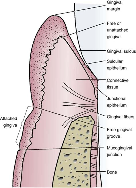 Gingiva Diagram