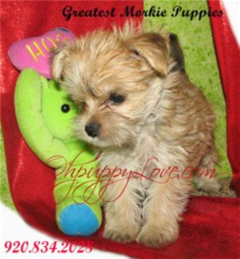 yorkie puppies for sale in peoria il www ohpuppylove breeds morkie shorkie maltipoo poodle mix maltipoos for
