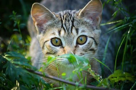 alimentazione gatto alimentazione corretta gatto corretta alimentazione
