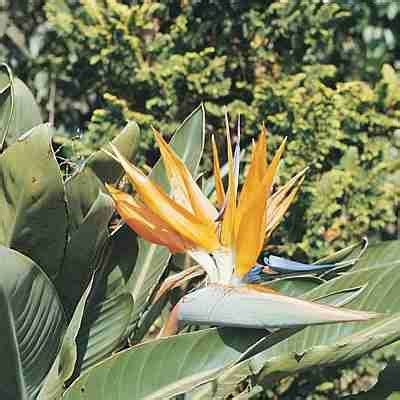 how to grow quot bird of paradise quot yard ening pinterest