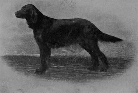 setter dog black the irish setter