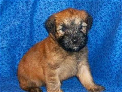 akcwheaton cut soft coated wheaten terrier puppies for sale