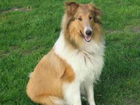 Collie puppies dog breeds picture