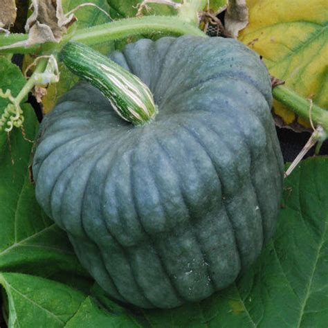 queensland blue seeds squash - Queensland Blue