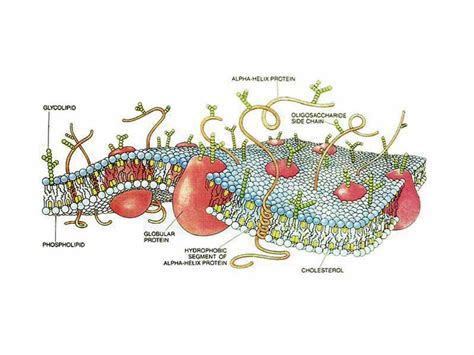 cross section of cell membrane the wikipremed mcat course image archive schematic three