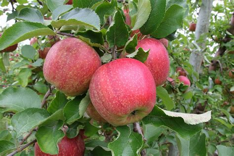u fruit michigan u s michigan prefer jonagold apples