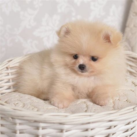 how much is a teacup pomeranian puppy best 25 pomeranian pups ideas on pomeranian baby pomeranian and