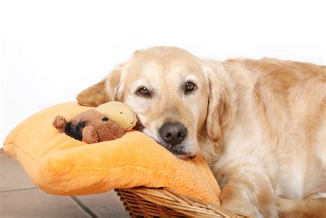 false pregnancy in dogs false pregnancy in dogs