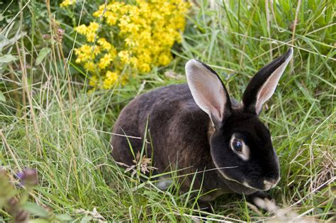 rex  sale rabbits breed information omlet