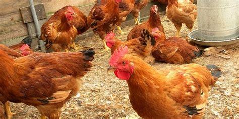 Bibit Ayam Lingnan ayam lingnan dilarang gunakan label ayam kungbisnis