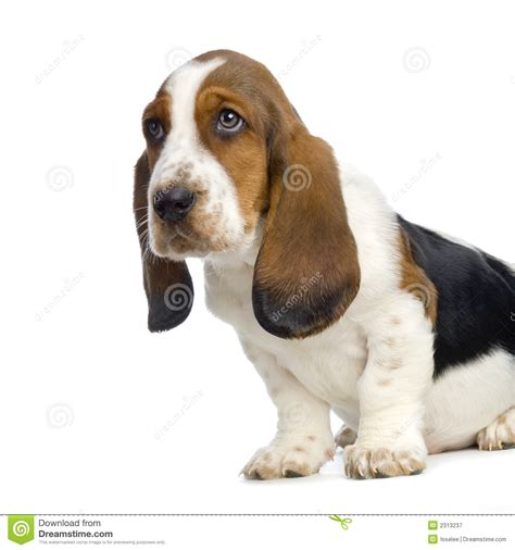 free basset hound puppies basset hound puppy royalty free stock photography image 2313237
