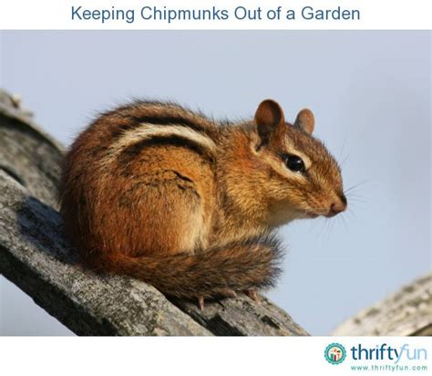 How To Keep Chipmunks Out Of Garden keeping chipmunks out of a garden gardens and