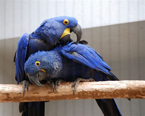 how much does a hyacinth macaw cost howmuchisit org