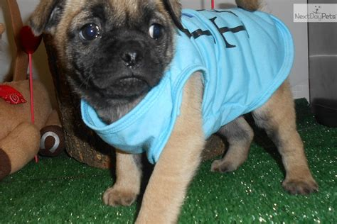 pug breeders near chicago chicago quot mugsy quot pug mix pug puppy for sale near chicago illinois 5808eabe d511
