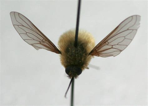 Wings Of A how do i tell a bee from a fly and the bees