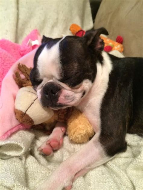 boston terrier puppies louisiana 273 best images about boston terrier on merry boston