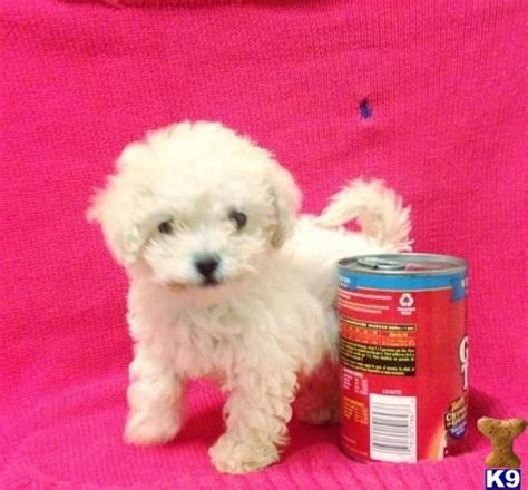 maltipoo puppies for sale in california best 25 maltipoo puppies for sale ideas only on maltipoo for sale teacup
