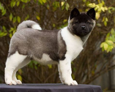 akitas puppies 25 best ideas about akita puppies for sale on american akita akita and