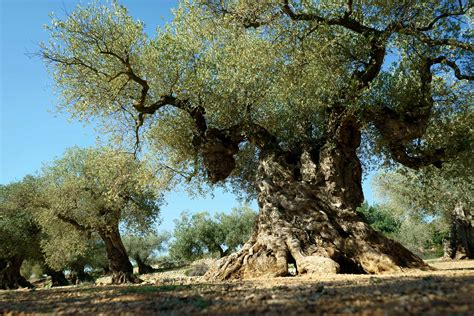 giving new life to ancient olive trees in spain