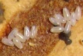 how many eggs do bed bugs lay bed bug extermination and control in buffalo comfort