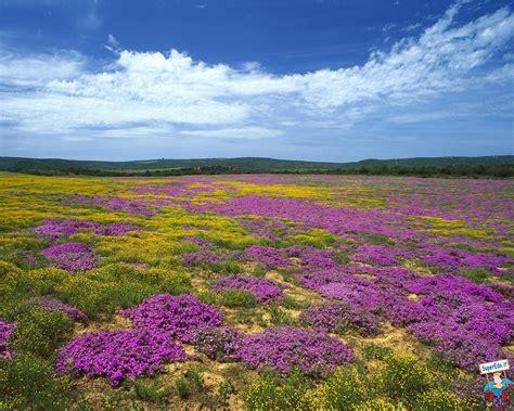 immagini paesaggi fioriti sfondi desktop prati fioriti 42 in alta definizione hd