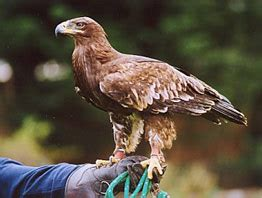 surrey falconry experiences and activity days hawking