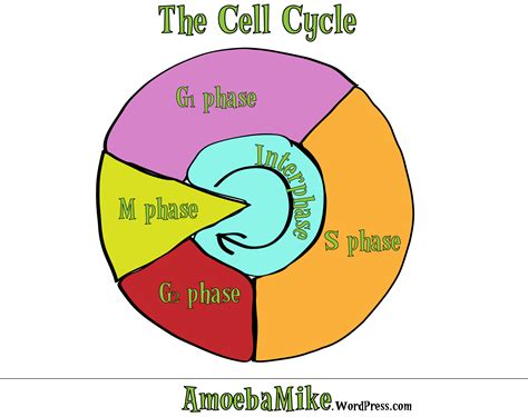 cell cycle diagram cell cycle search results calendar 2015