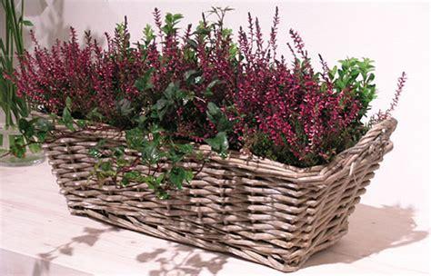 calluna vulgaris in vaso fioriere autunnali usiamo l erica calluna fiori e foglie