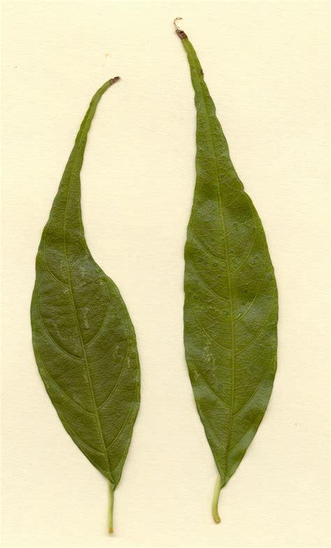 hojas de hierba bahhia hojas de hierba