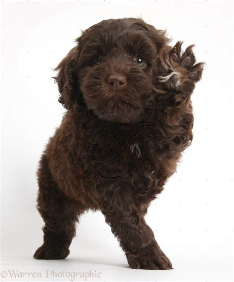 chocolate brown goldendoodle puppies for sale chocolate goldendoodle images search