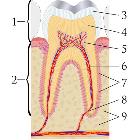 cross section of tooth tooth discoloration wikipedia