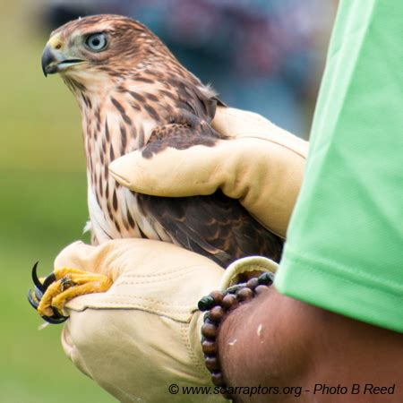joint release with wildlife care clinic raptor