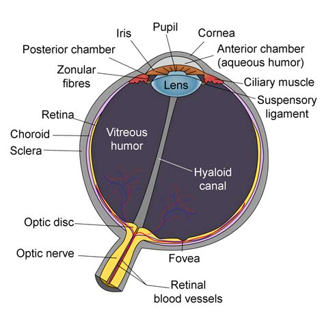 schematic section of the human eye eye schematic diagram eye get free image about wiring