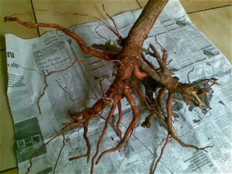 khasiat akar mengkudu  perlu  ketahui