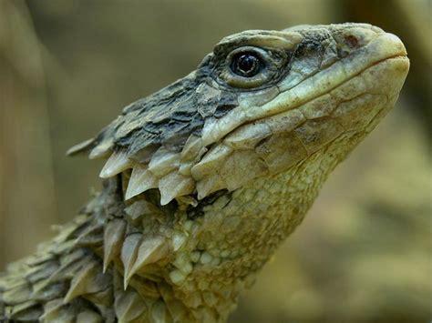 giant girdled lizard wikipedia