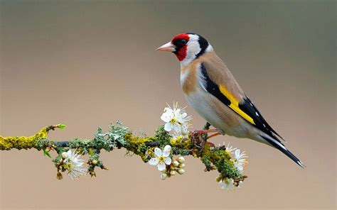 the melodious song bird european goldfinch carduelis