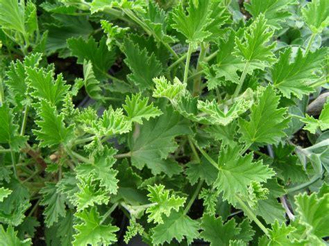 pelargonium citronella scented geranium citronella