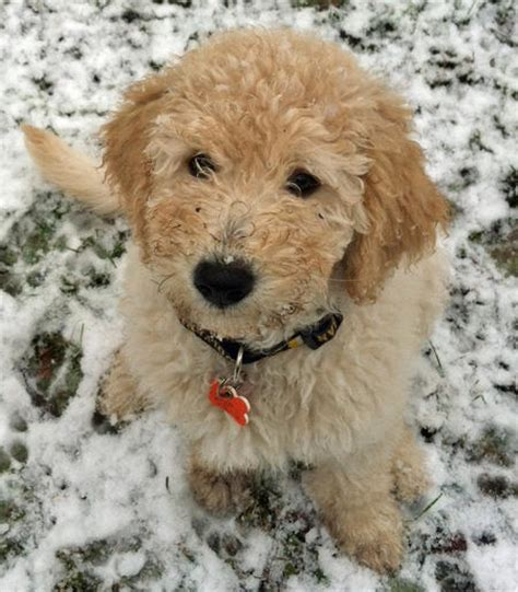 goldendoodle daily puppy myshkin the goldendoodle puppies daily puppy
