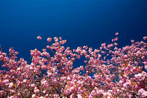 Pink Blossom In Blue cherry blossom and blue sky free stock photo