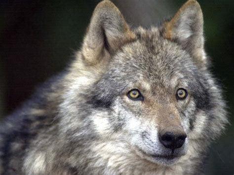 alimentazione lupo cecoslovacco lupo cecoslovacco razza descrizione carattere