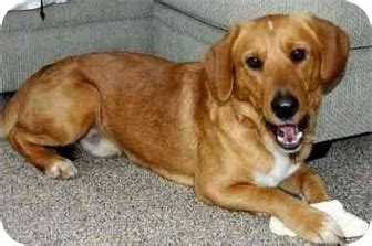 golden retriever and beagle mix pin golden retriever beagle mix for sale on