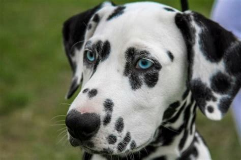 blue eyed names 50 unique names for dogs with blue pethelpful