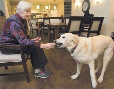 comfort pet law meet sadie the watermark at east hill s comfort dog