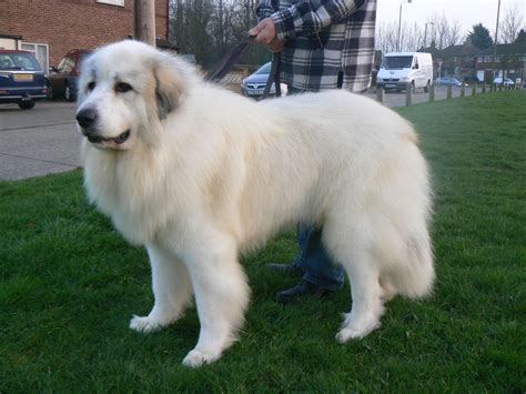 mountain puppies pyrenean mountain at stud brixham pets4homes
