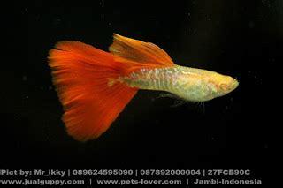 Ikan Guppy Black Moscow Black Betina guppy import murah dan strain berkualitas hewan indonesia dan jual beli