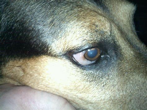 dogs is swollen white outer area of dogs right eye is swollen and sticking