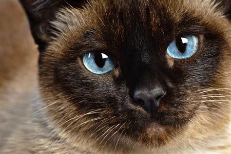 gatto siamese alimentazione l alimentazione siamese petformance magazine